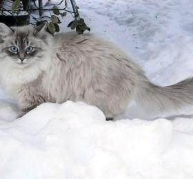 Carollain Phantom cats